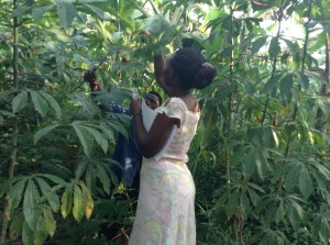 Paula and a farmer picking cassava leaf samples in one of the farmer's cassava gardens to be used for studying genetic diversity of cassava varieties.